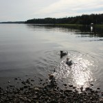 koirat uimassa heinäkuu-2012